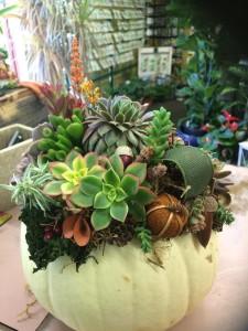 Succulent Pumpkin 1